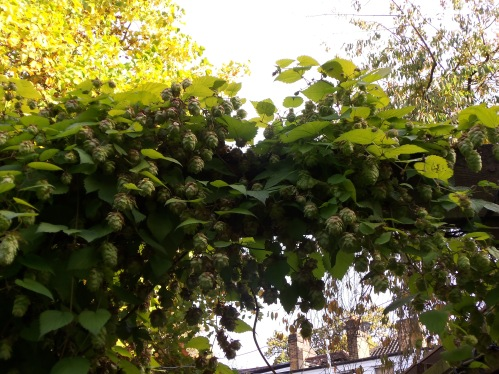 Hops Growing at the Spaniard's Inn