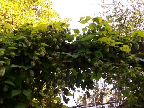 Hops Growing at the Spaniard's Inn